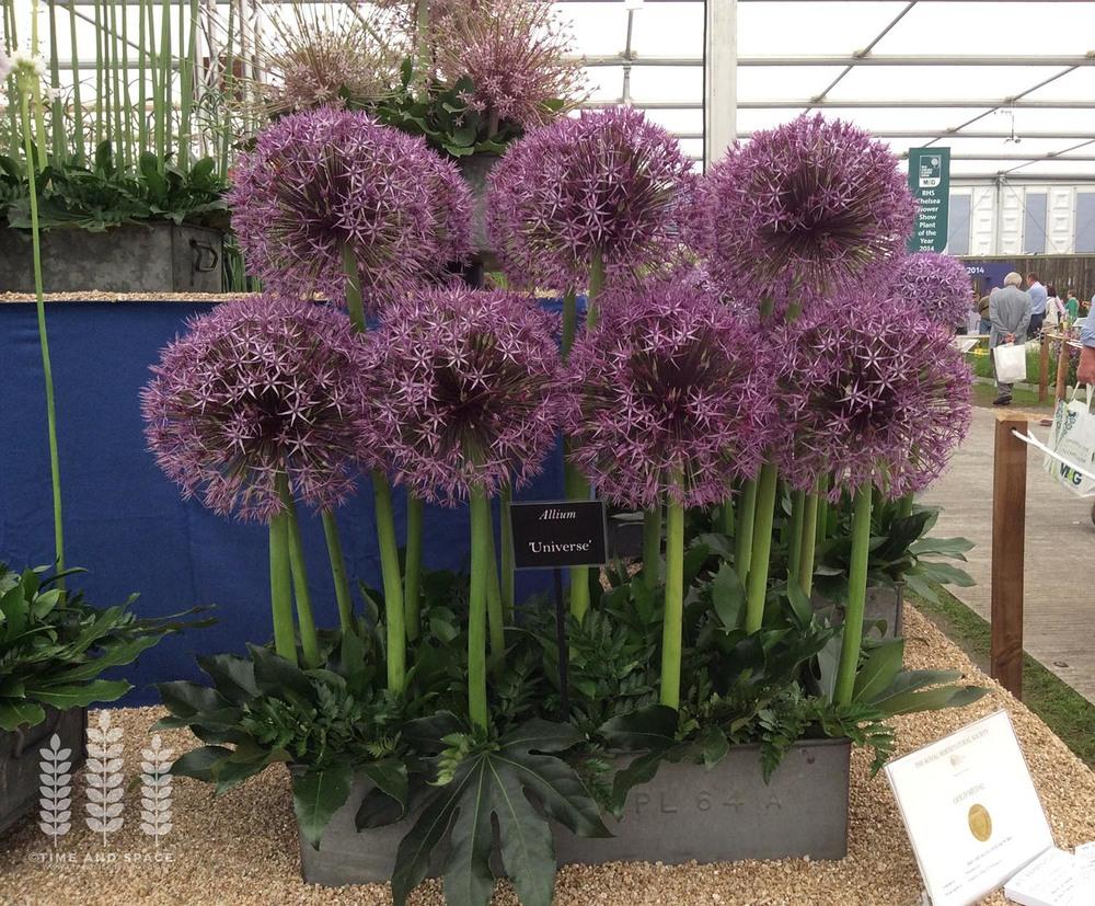Allium universe - a huge, majestic Allium for dramatic impact, at RHS Chelsea 2014