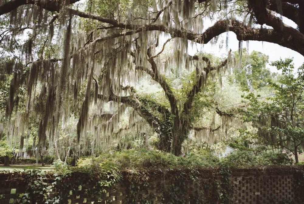 beauford-tree--500.jpg