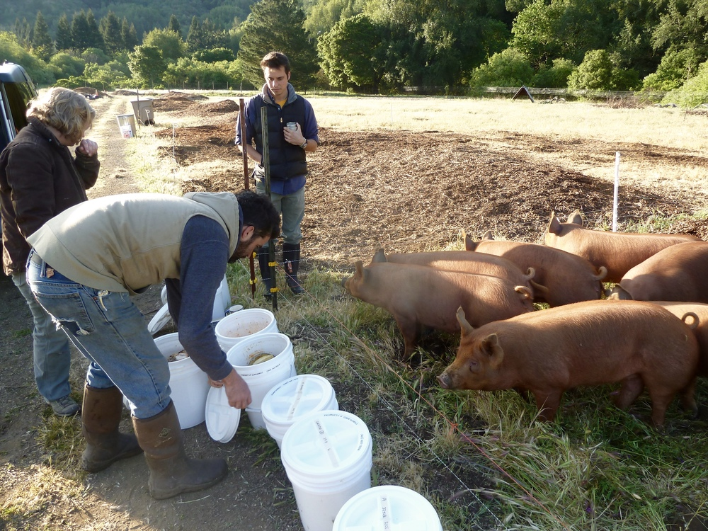 An early delivery testing quantity, packaging, timing, and desirability (of both pigs and farmers!)