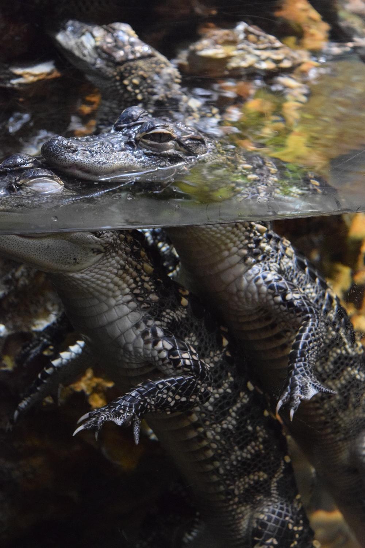 Alligator Exhibit at the Georgia Aquarium