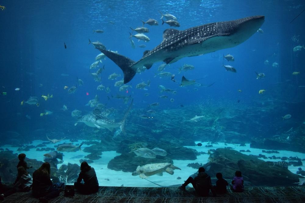 Whale Shark in the Ocean Voyager Exhibit, Georgia Aquarium