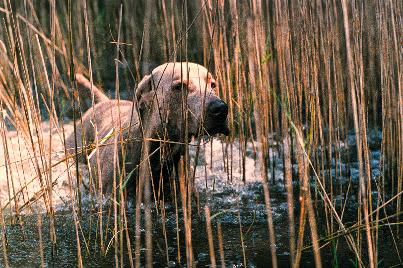 Mosby in the Reeds 9-01.jpg