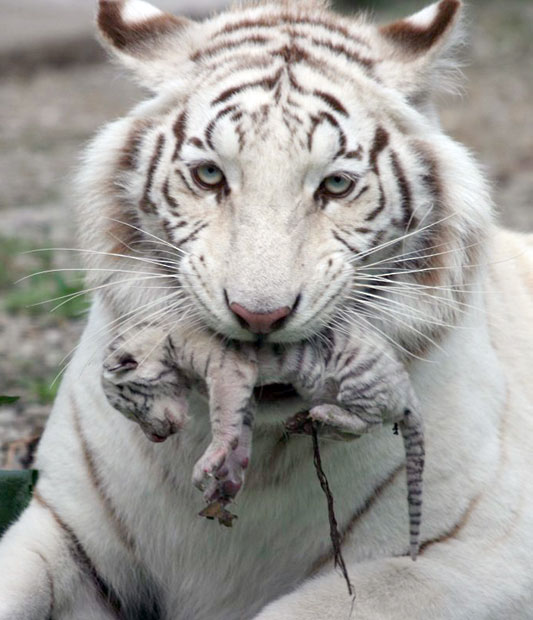 Picture: Skazka Zoo/AP. Shared from telegraph.co.uk.