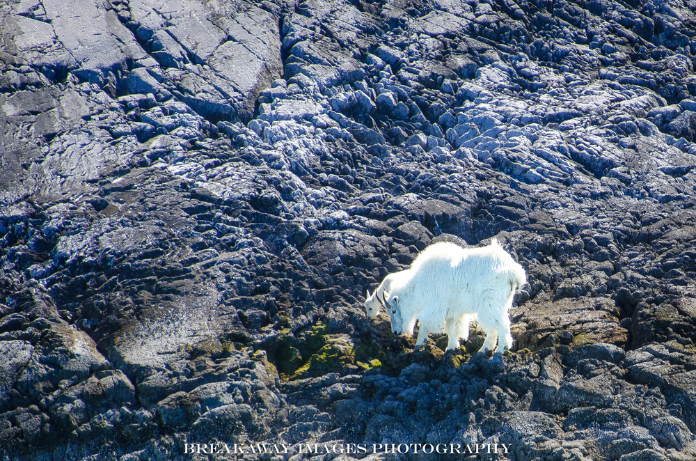 Mountain goats - WAY up there!  Inside Passage, Alaska