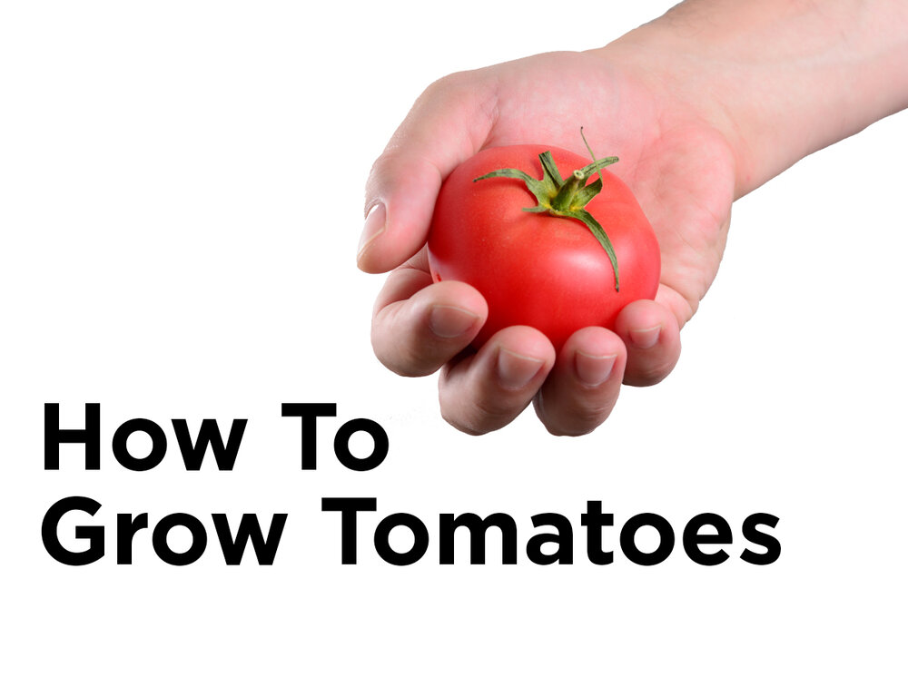 how to grow tomatoes indoors with hydroponics blog. Black Bedroom Furniture Sets. Home Design Ideas
