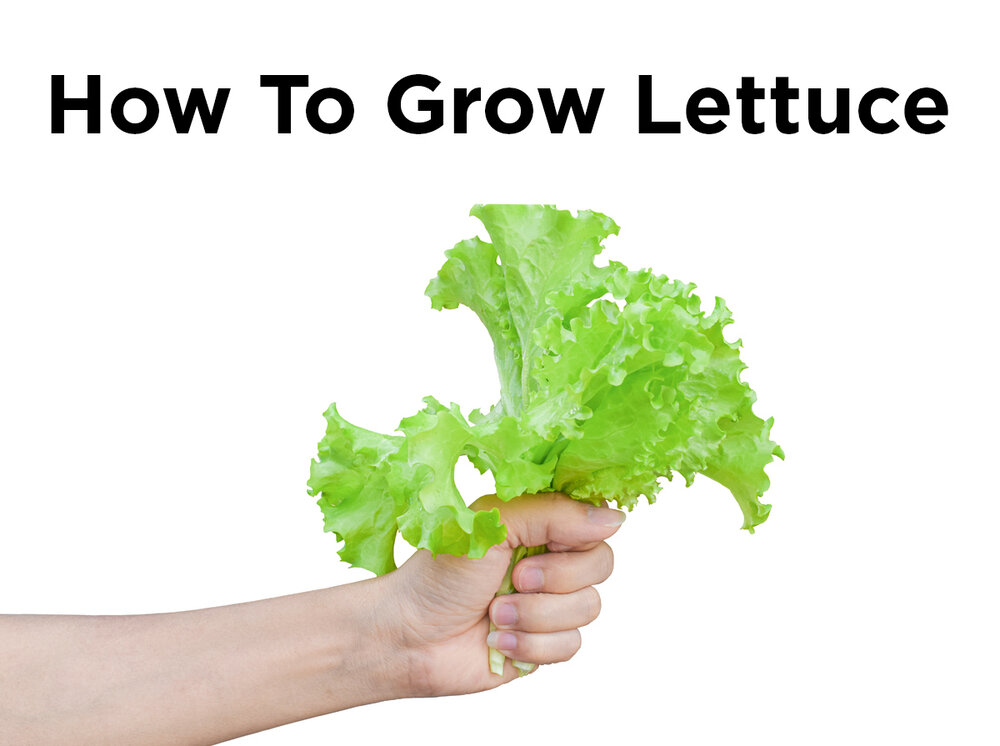 how to grow lettuce indoors with hydroponics blog. Black Bedroom Furniture Sets. Home Design Ideas