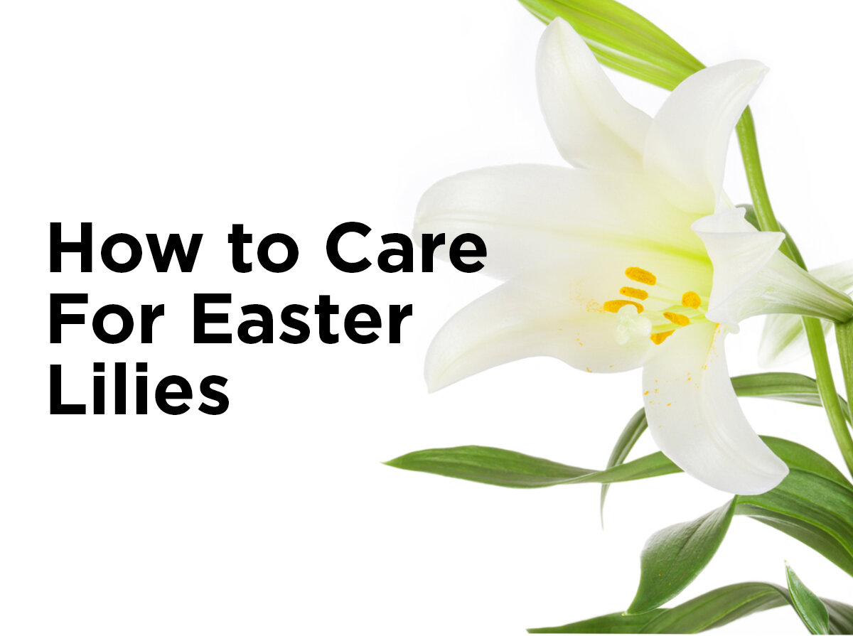 How to care for easter lilies 1000bulbs blog izmirmasajfo