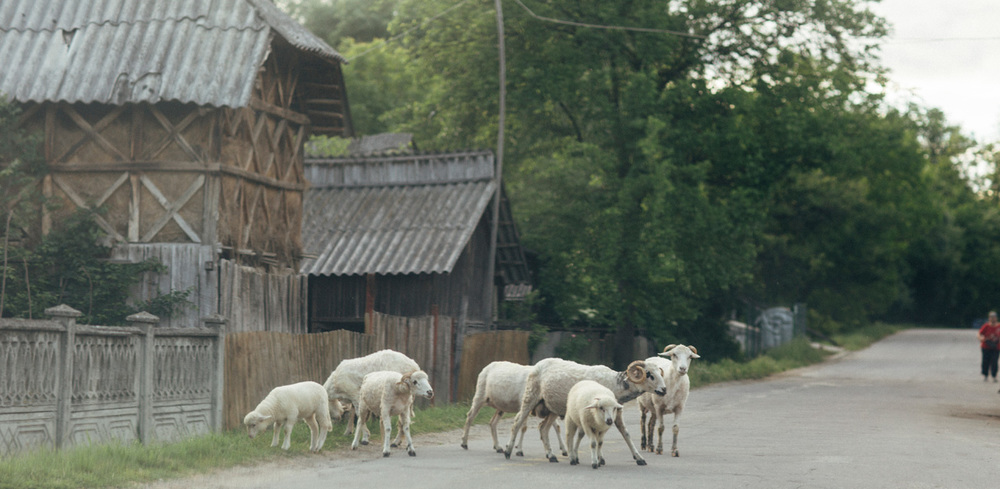Sheep frolicking in an Olternian village