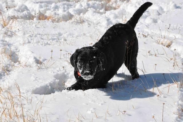 snowdog.jpeg