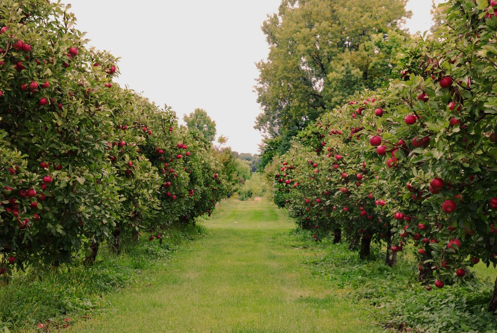 Why Michigan? - Michigan is one of the top-producing apple-growing areas in the United States. Its climate mirrors that of great cidermaking countries England and France, and it makes for great cidermaking apples. We celebrate this unique setting on Michigan's Cider Coast by producing ciders made in traditional methods: using local fruit, making cider on a farm, and aging it in barrels.