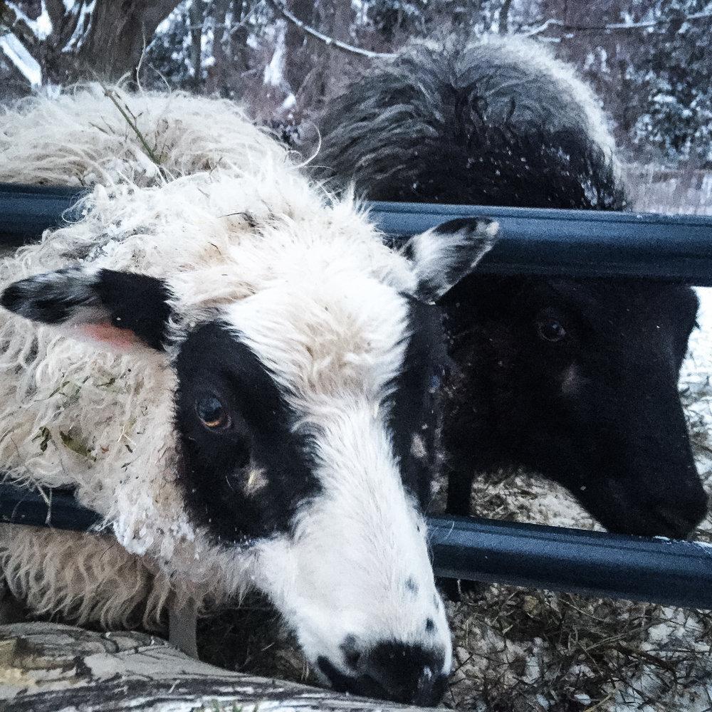 winter sheep social.jpg