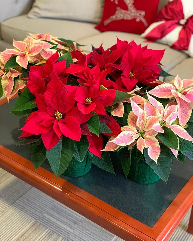 May your days be merry and bright... like our new poinsettias!  #dental #dentist #chittenango #poinsettia #christmas