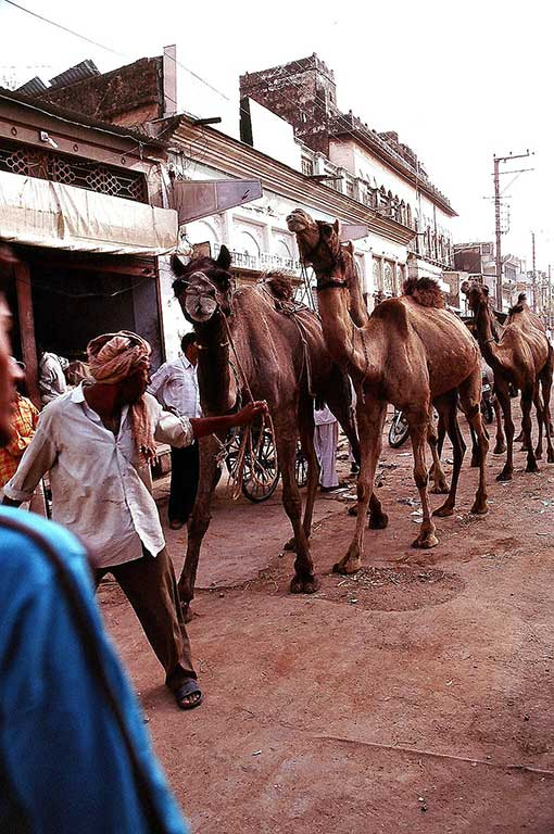 Camels on the Main street in Mandawa (photo by Steve Gillick)