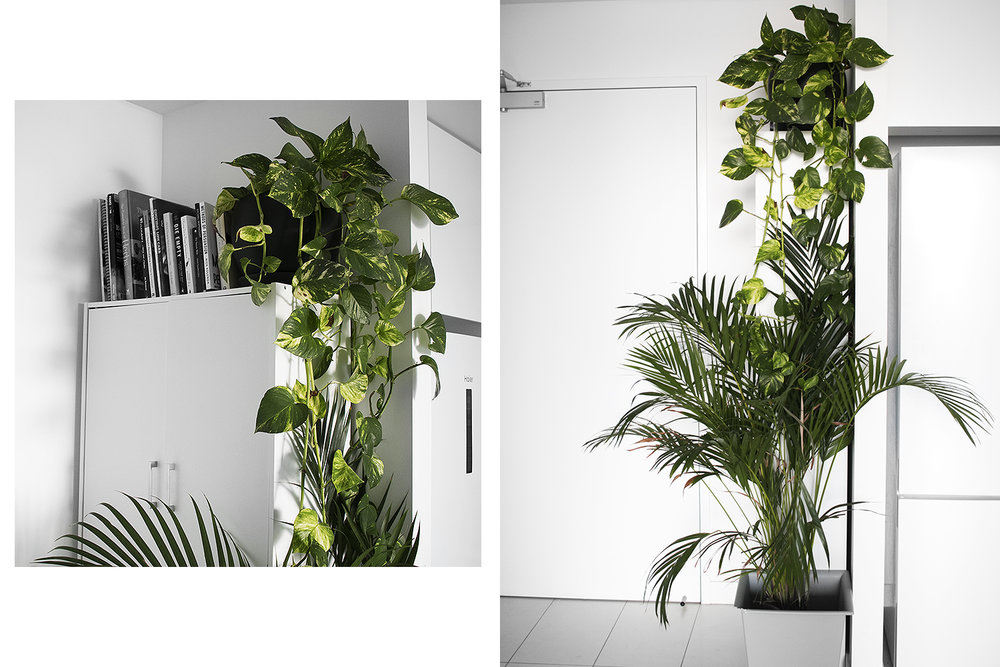 Left: Pothos, Right: Pothos and Golden Cane Palm