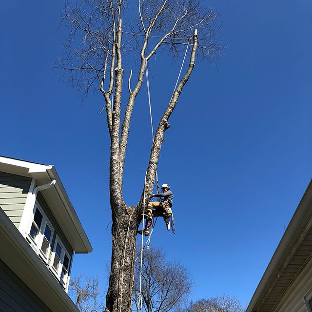 Hollow black cherry removal, between two houses.  Rigging one small piece at a time to protect homes, fences and lawns.  Let us know if you have a problem tree - we can handle it, safely and efficiently!