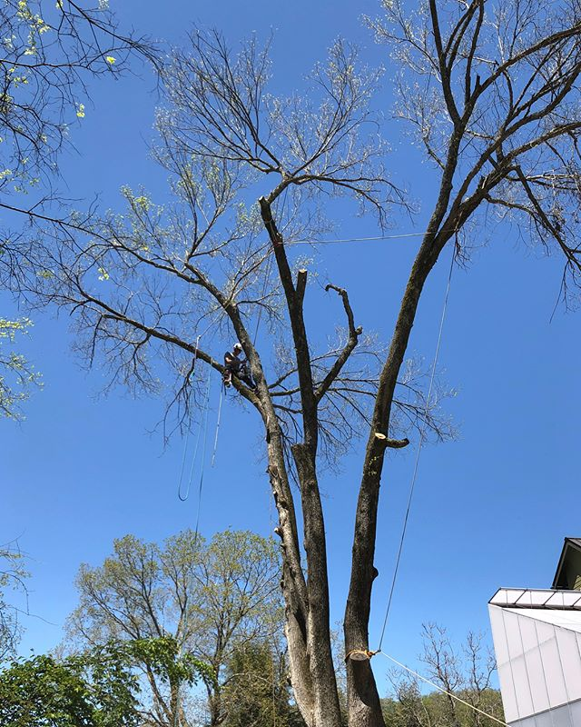 Large Elm removal today, beginning stages of trunk decay, possibly due to fungus...curious for input from @andersentreespecialists @sawdust_in_my_coffee one large leader had that fungus in it (last photo). Seems like the fungus was growing up several feet into the trunk.  Thoughts?  Thanks to @joelongobardi for great help and photos!  Happy birthday and thanks to @mrpeanutdancing for running everything.