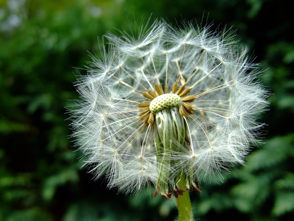 dandelion-1119310.jpg