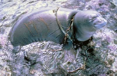 seal-tangled-in-chains-and-rope-from-garbage-in-the-ocean.jpg