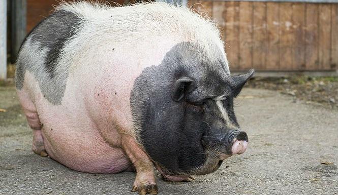 pregant-pigs.jpg