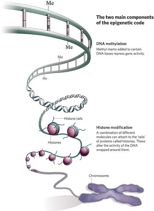 Epigenetics mechanisms. (credit: embryology.med.unsw.edu.au)