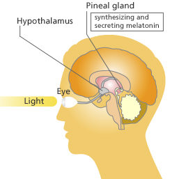 An illustration showing how light rays from the sun travel from your eyes and carry energy that stimulates your pineal gland.