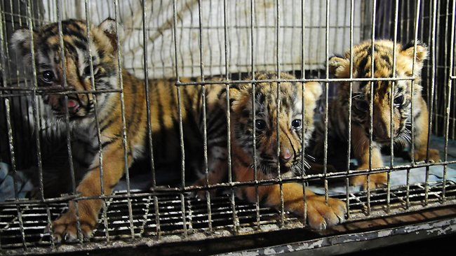 tiger-cubs-caged.jpg