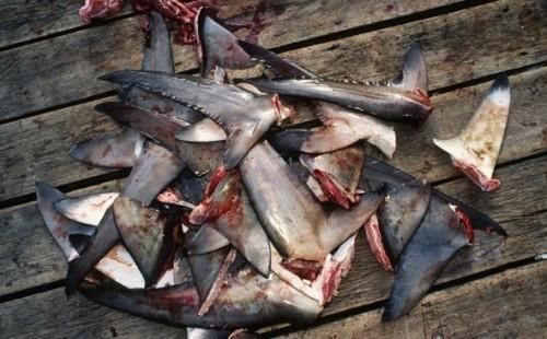 shark-fins3.jpg