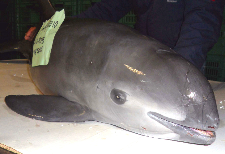 Vaquita-extinction-11.jpg