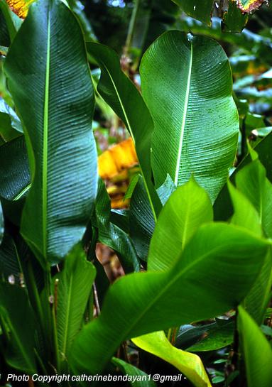 Vanuatu Photo Copyright catherinebendayan1@gmail _ © Catherine Bendayan - lap lap feuilles.jpg