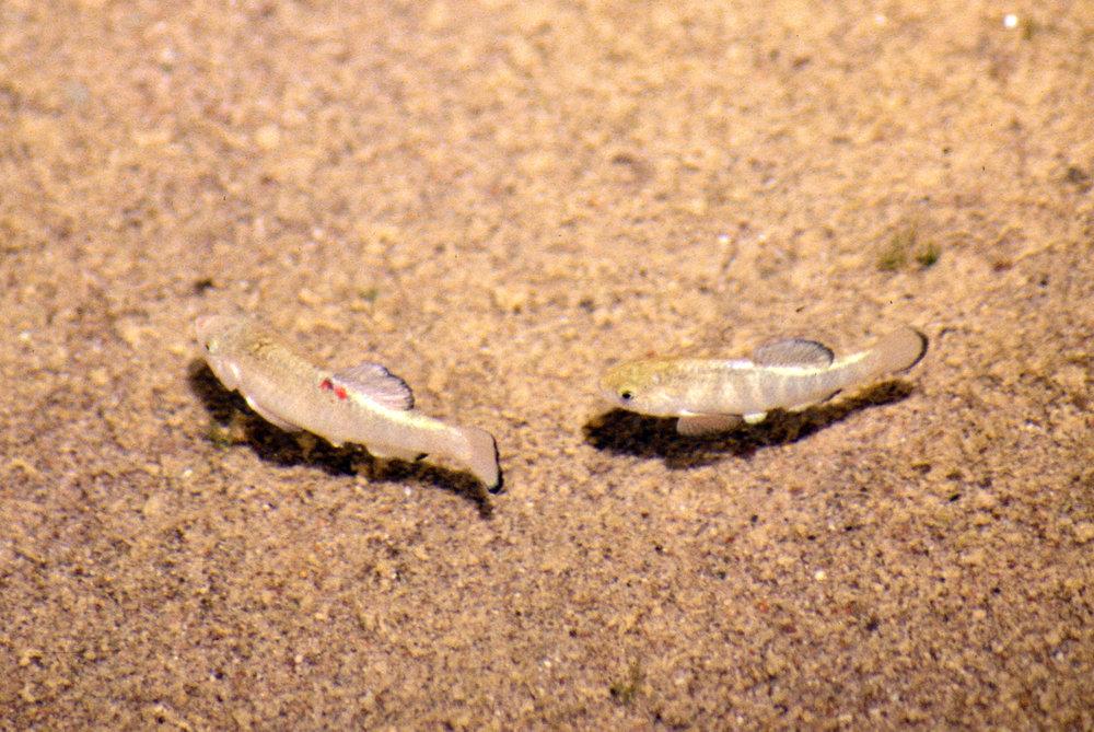 Amargosa River pupfish2.jpg