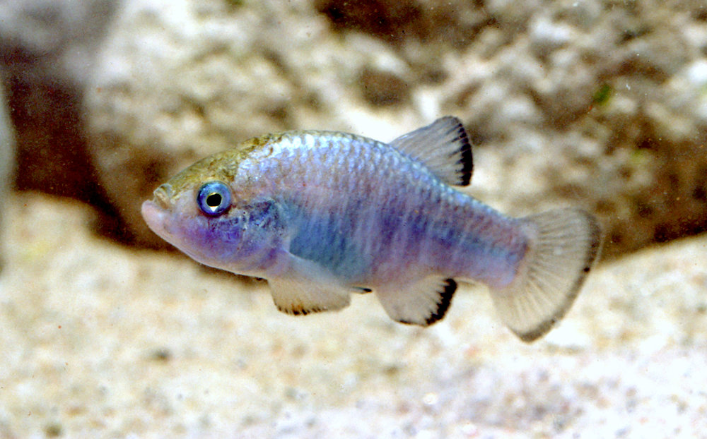 Amargosa pupfish,  Cyprinodon nevadensis , from the Death Valley region of California and Nevada, USA