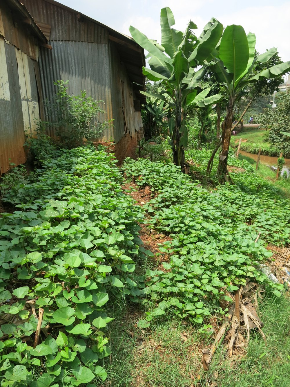 Above: Mass sweet potato production - we harvested 50 kg's of the buggers!