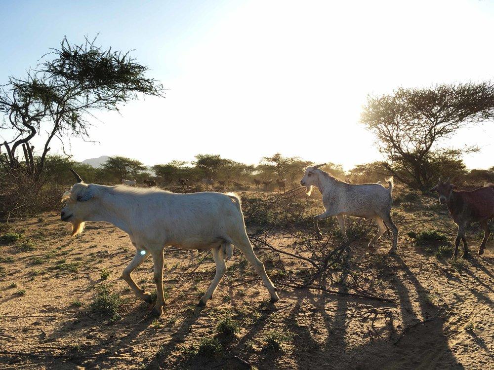 Goats backlit 1.jpg