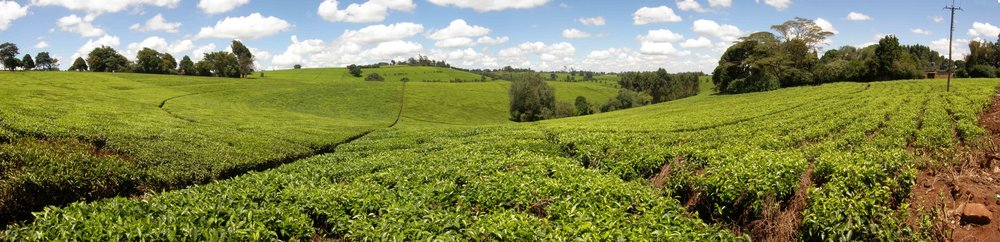 Typical Limuru Scenery; Tea as far as the Eye can See