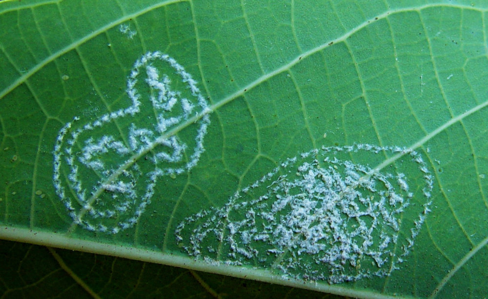 Whiteflies laying eggs on leaves