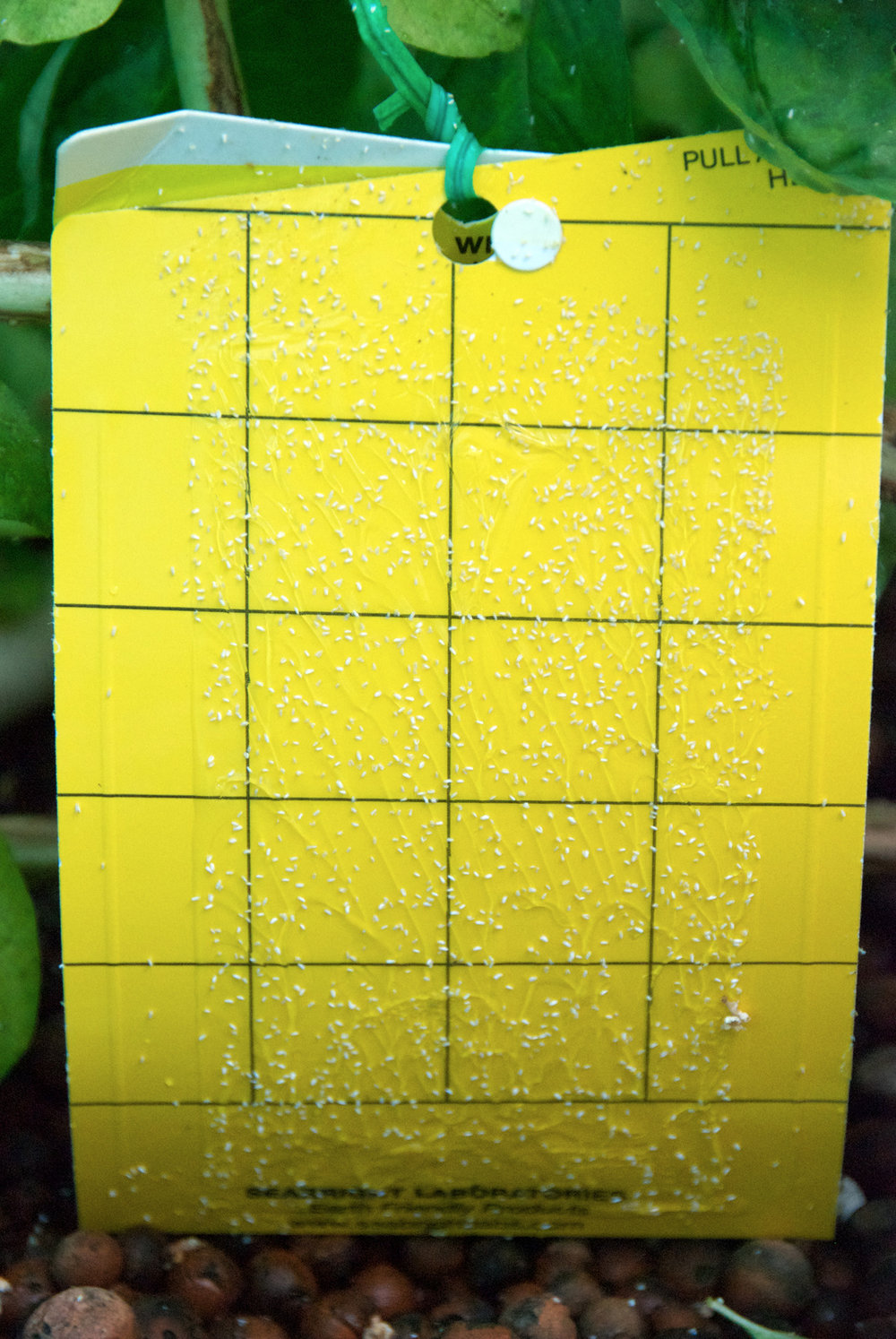 Yellow sticky traps - They may look a little ugly in your garden or a bit hectic in your greenhouse but they work a charm for catching the little buggers. The whiteflies are attracted to the colour yellow and so when they come into contact with the card the sticky glue traps them! Gotcha!