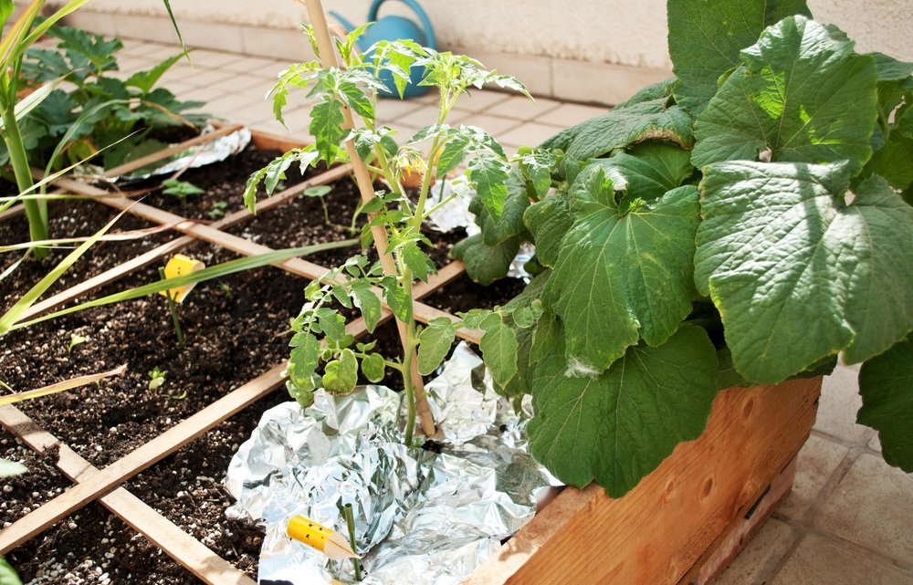 Aluminium reflective mulch.... - Aluminium (tin foil) as a mulch makes it difficult for the flies to find the host plant. They are blinded by the light. This a great technique for your vegetables.