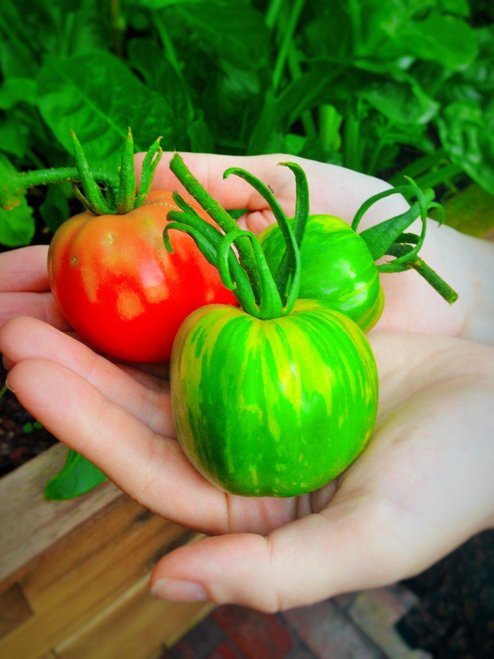 Tomatoes R.JPG