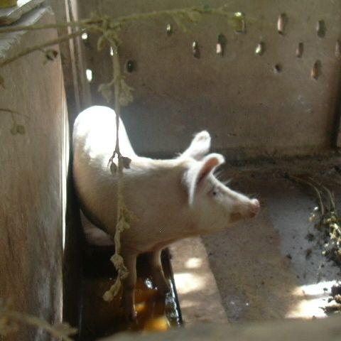 Pig $83.00