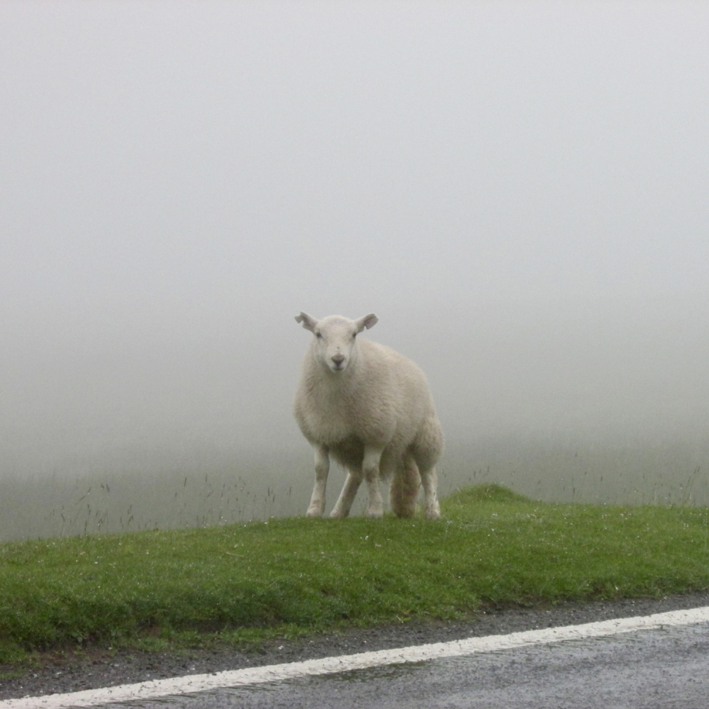 WE MET SOME WELSH SHEEP DRIVING THROUGH THE BRECON BEACON MOUNTAINS.