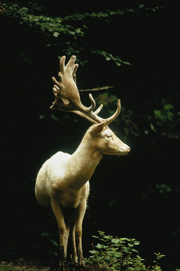 white fallow stag in a switzerland forest  ( source )