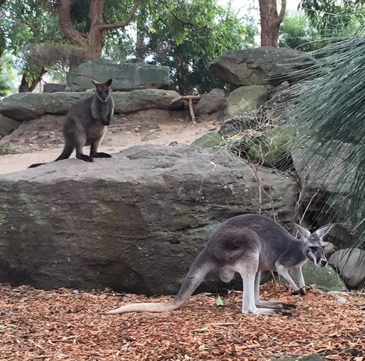 A Wallaby and Kangaroo