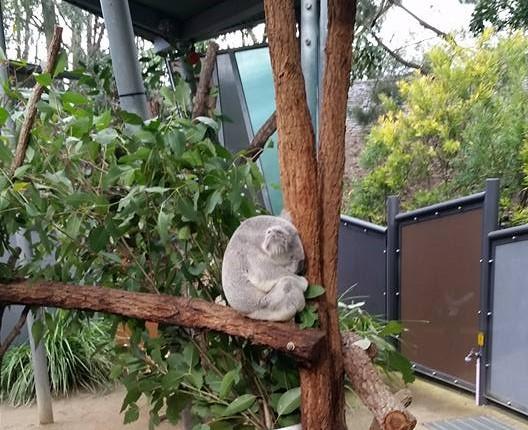 A sleeping Koala (awww)