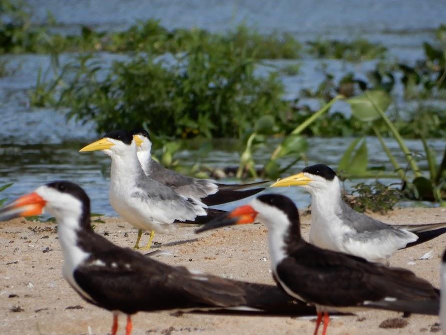 Large Billed Terns and Black Skimmers.jpg