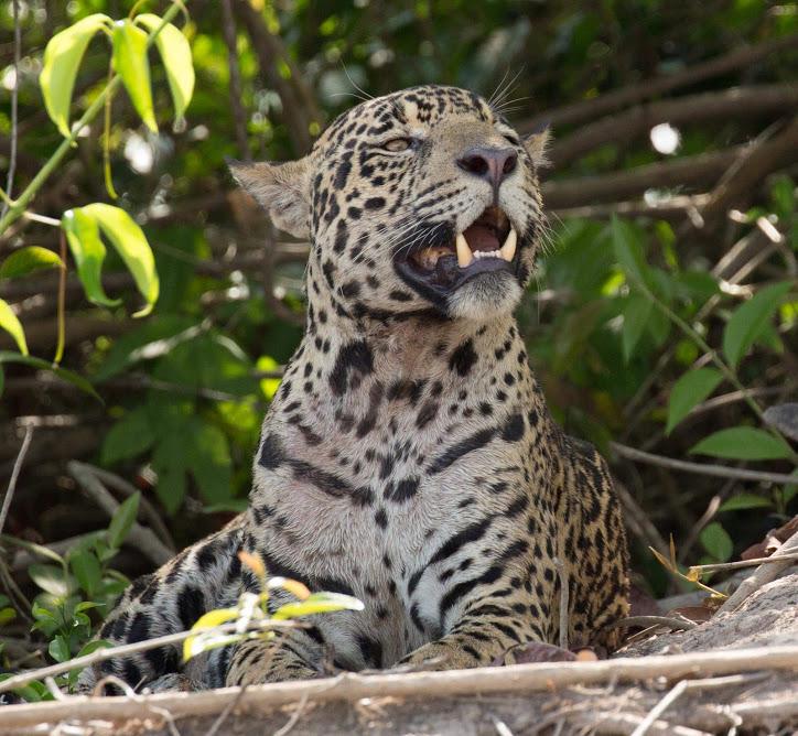 Jaguar - Pantanal, Brazil (2)- reduced.jpg