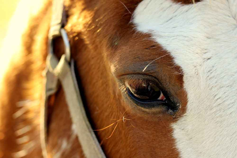 quarter horse close up