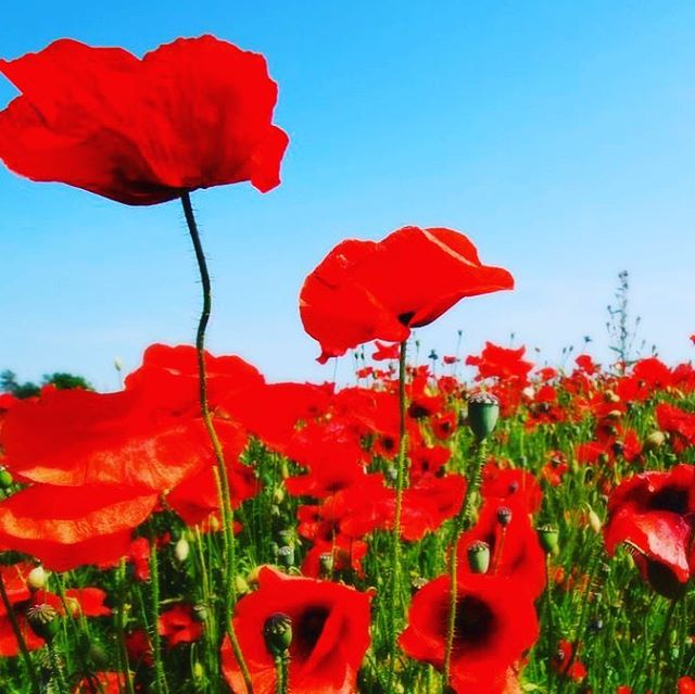 In Flanders fields the poppies blow Between the crosses, row on row,  That mark our place, and in the sky,  The larks, still bravely singing, fly,  Scarce heard amid the guns below.  We are the dead; short days ago We lived, felt dawn, saw sunset glow,  Loved and were loved, and now we lie In Flanders fields.  Take up our quarrel with the foe!  To you from failing hands we throw The torch; be yours to hold it high!  If ye break faith with us who die We shall not sleep, though poppies grow In Flanders fields. PC: @smithsonianmagazine