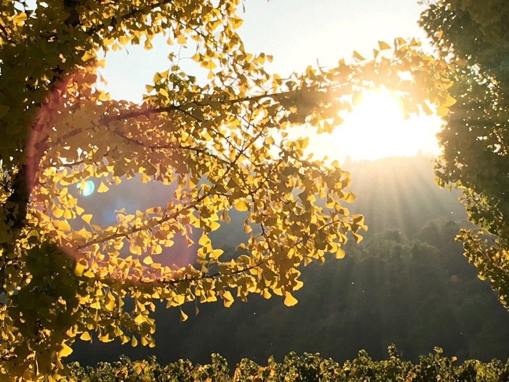 Ginkgo Sunset