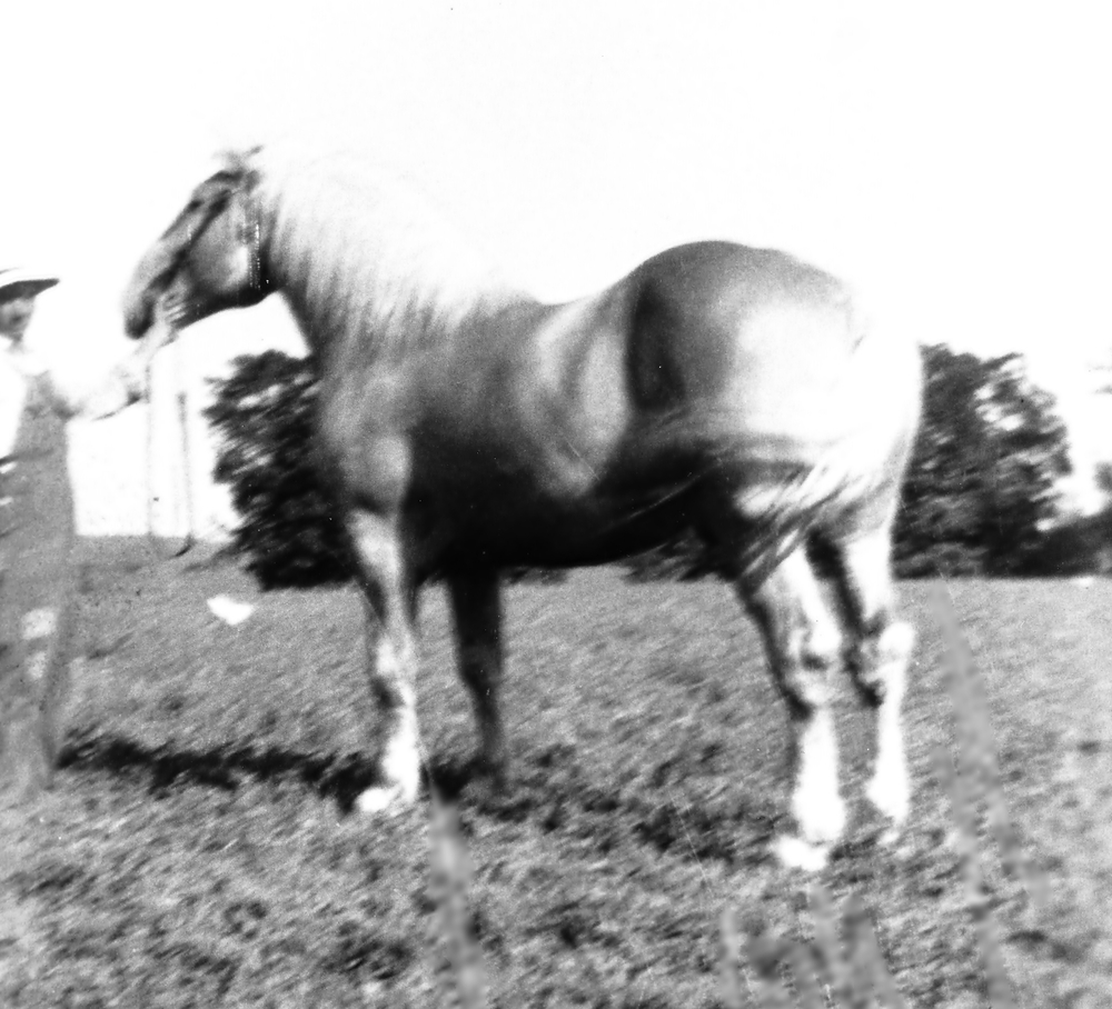 Silver Lace,  American Cream Horse of America Association Registration No. 9
