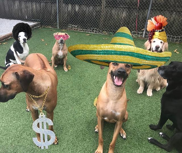 Happy Birthday to Sombrero Sudi, you're 2 years old!!! 🐶😎😆 #DoggieDojoMiami #rhodesianridgeback @matthewvanderwerff @ashley_melisse